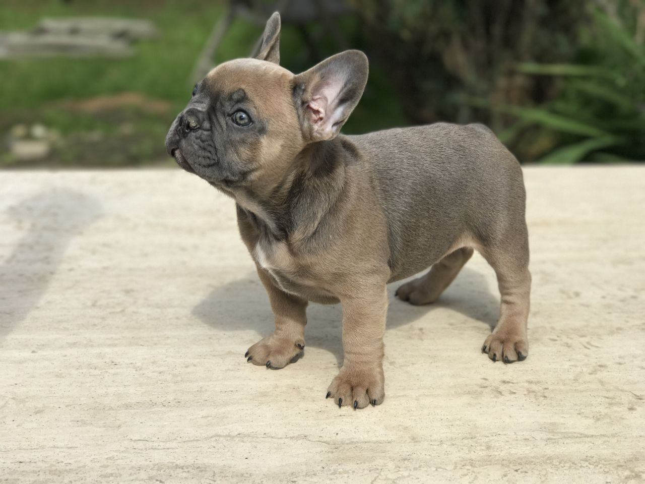 French Bulldog Puppies For Sale Hartford Ct 286540