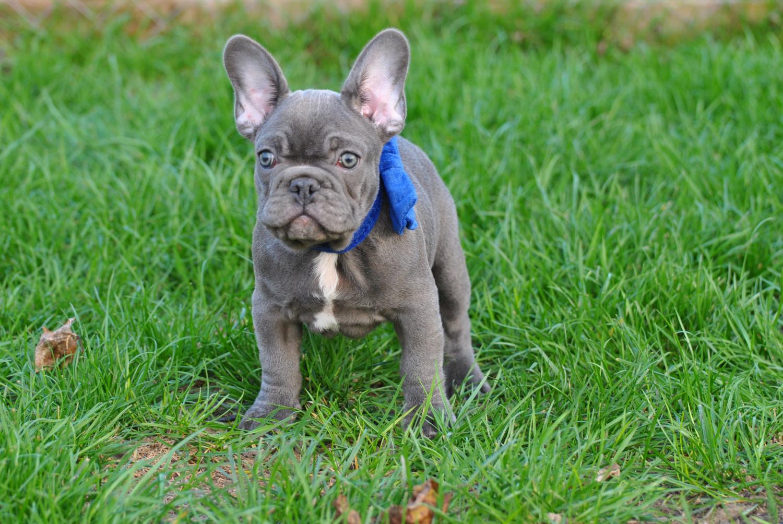 French Bulldog Puppies For Sale Boston Ma 286829