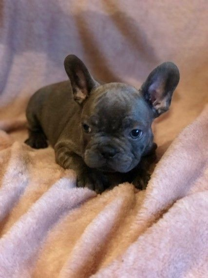 French Bulldog Puppies For Sale New Jersey 3 Nj 289350