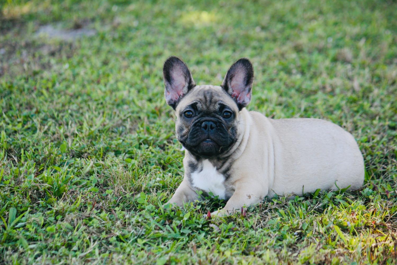 Monicea: French Bulldog Puppies Florida