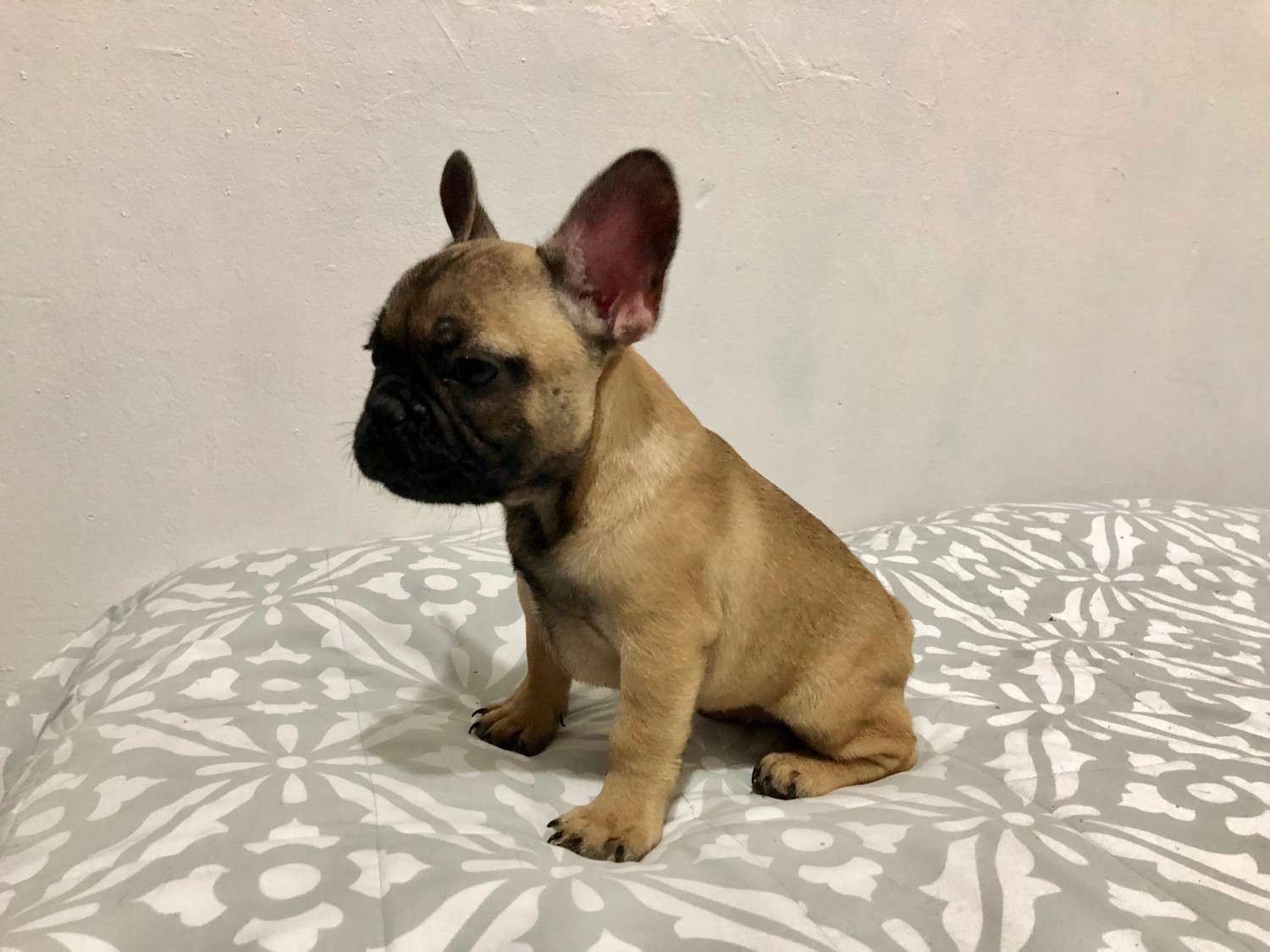 French Bulldog Puppies For Sale | New York, NY #289592