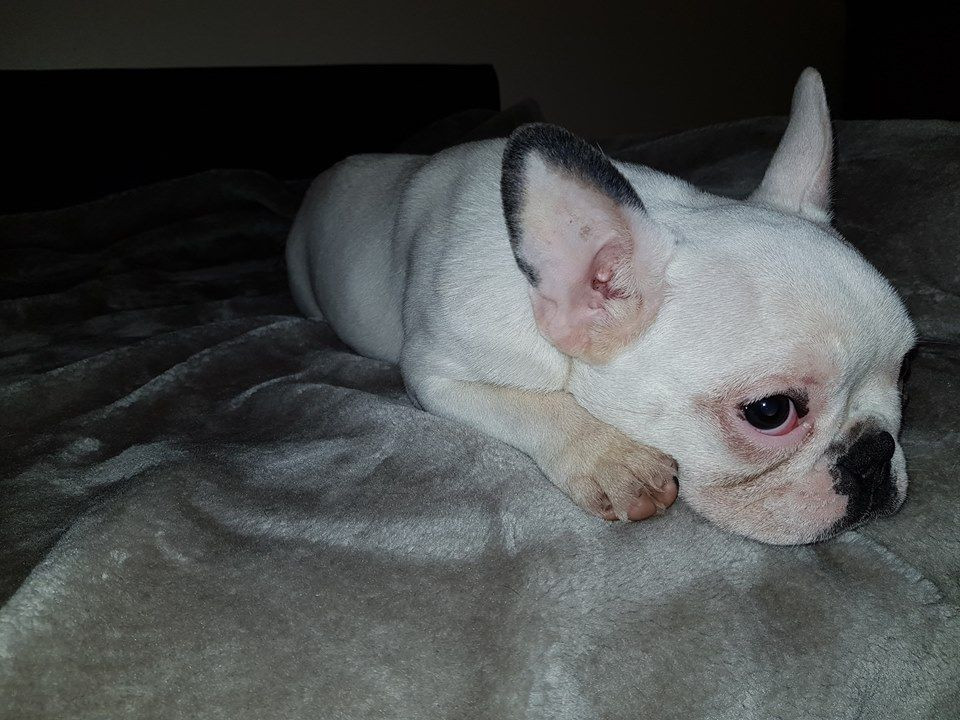 French Bulldog Puppies For Sale New Jersey 17 Nj 290987