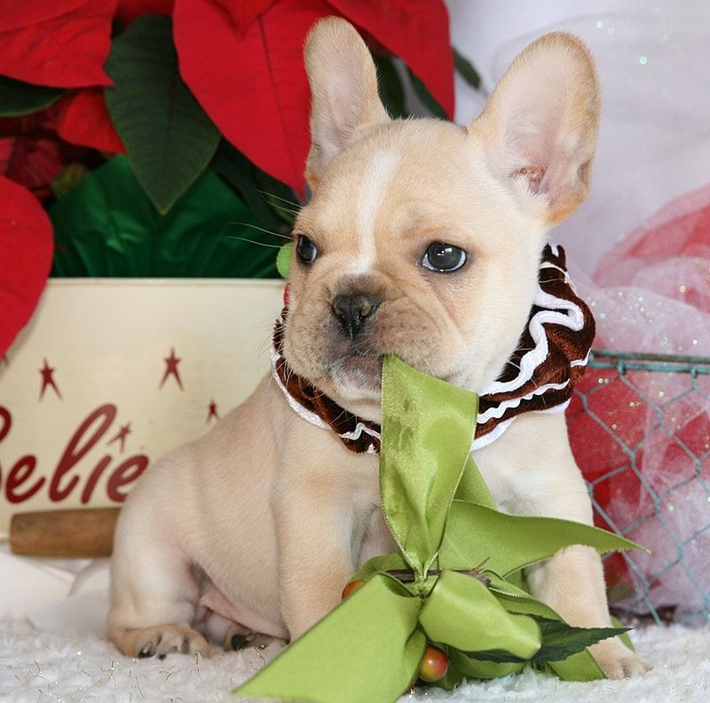 affordable french bulldog french bulldog puppies for sale flower mound tx 291035 7809