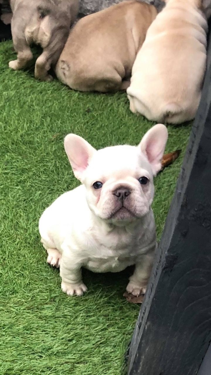 French Bulldog Puppies For Sale New Jersey 17 Nj 291087