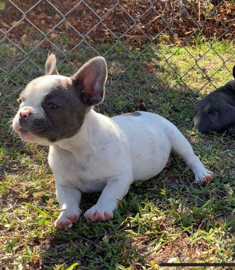 French Bulldog Puppies For Sale West Palm Beach Fl 291478