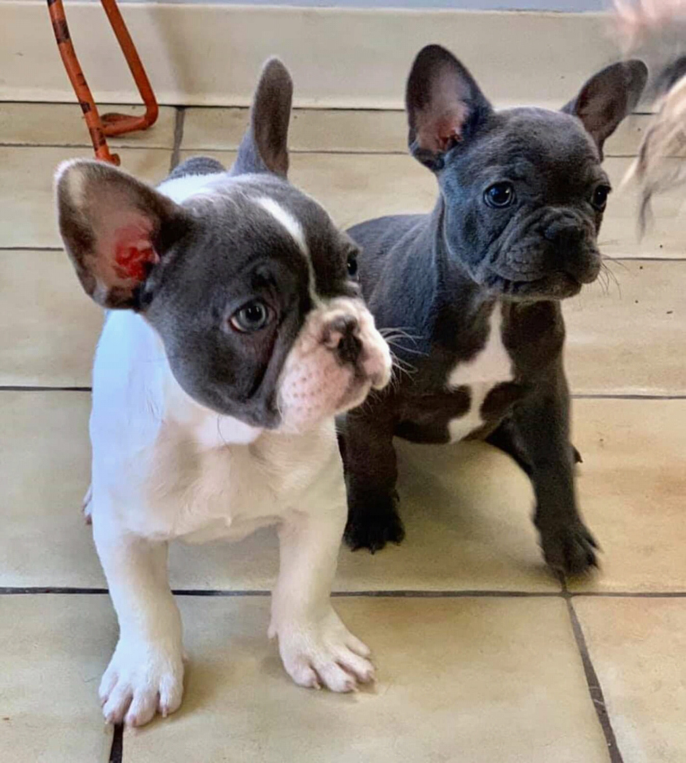 french bulldog puppies for sale ny french bulldog puppies for sale new york ny 291846 914