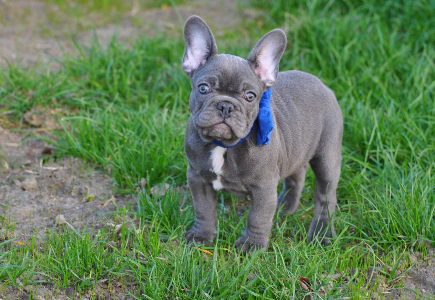 french bulldog puppies for sale ny french bulldog puppies for sale new york ny 292221 6335