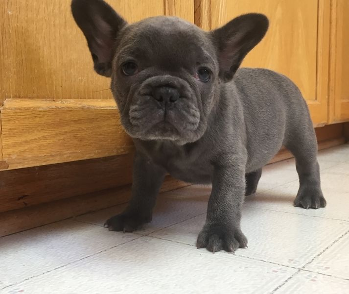 french bulldog california french bulldog puppies for sale los angeles ca 292678 2518