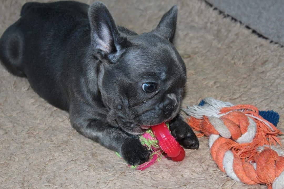 french bulldog tennessee french bulldog puppies for sale u s 41 tn 294729 3178