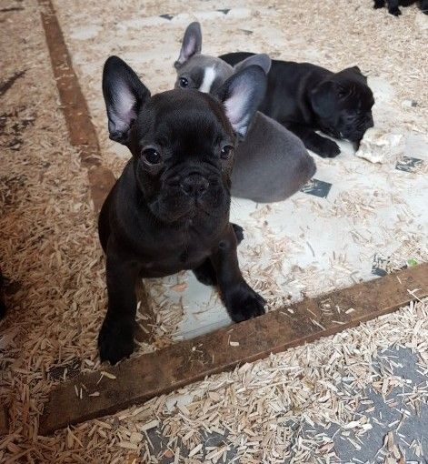 french bulldog puppies charlotte nc perros french bulldog puppies for sale charlotte nc 295168 5108