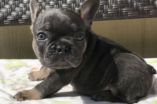 french bulldog rescue wi french bulldog puppies for sale green bay wi 295529 7522