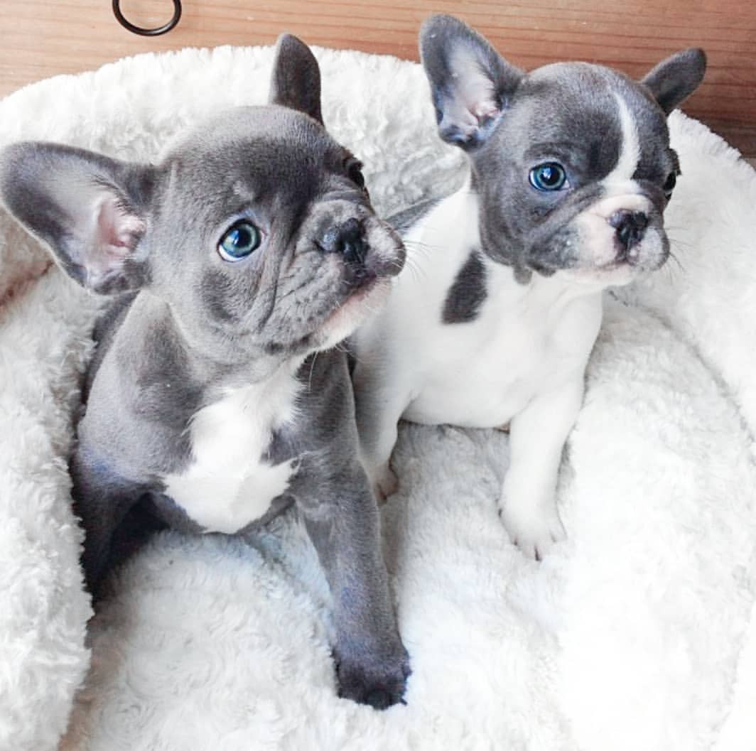 Gray And White French Bulldog Puppy