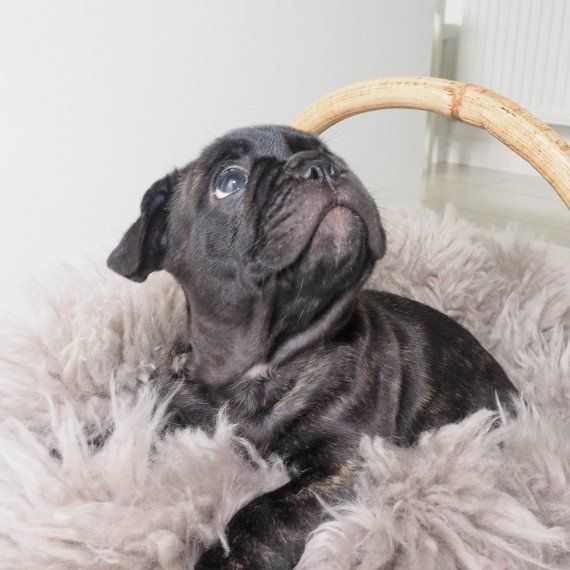 french bulldog puppies nc french bulldog puppies for sale charlotte nc 296372 4503