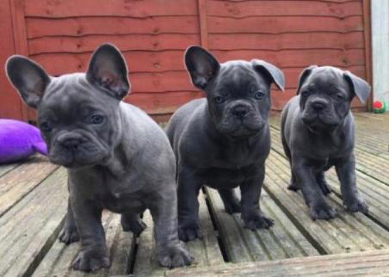 French Bulldog Puppies For Sale Pittsburgh Pa 296481