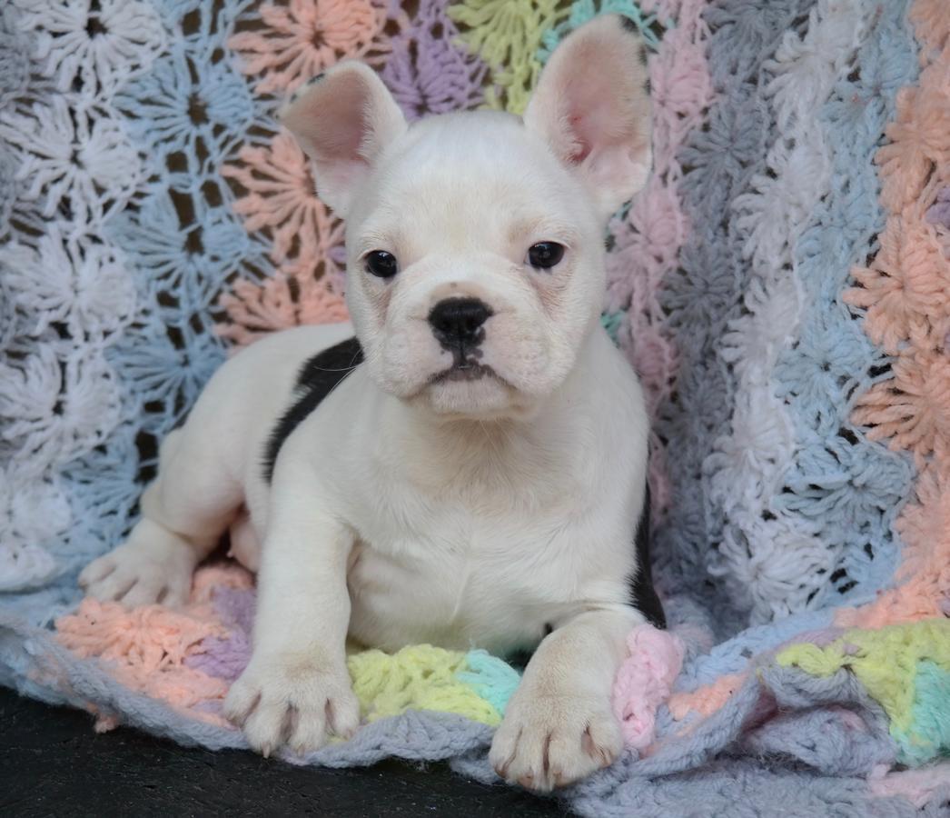 French Bulldog Puppies For Sale | Dallas, TX #297695