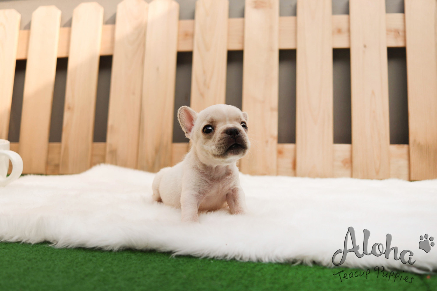 French Bulldog Puppies For Sale | New York, NY #303264