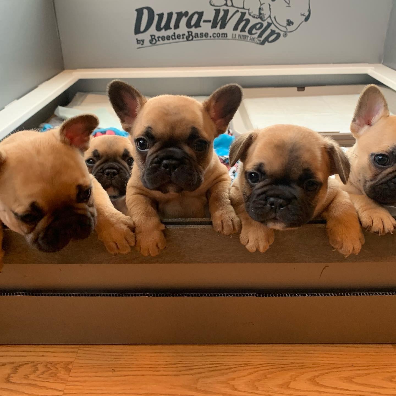 French Bulldog Puppies For Sale Moline Il 306888
