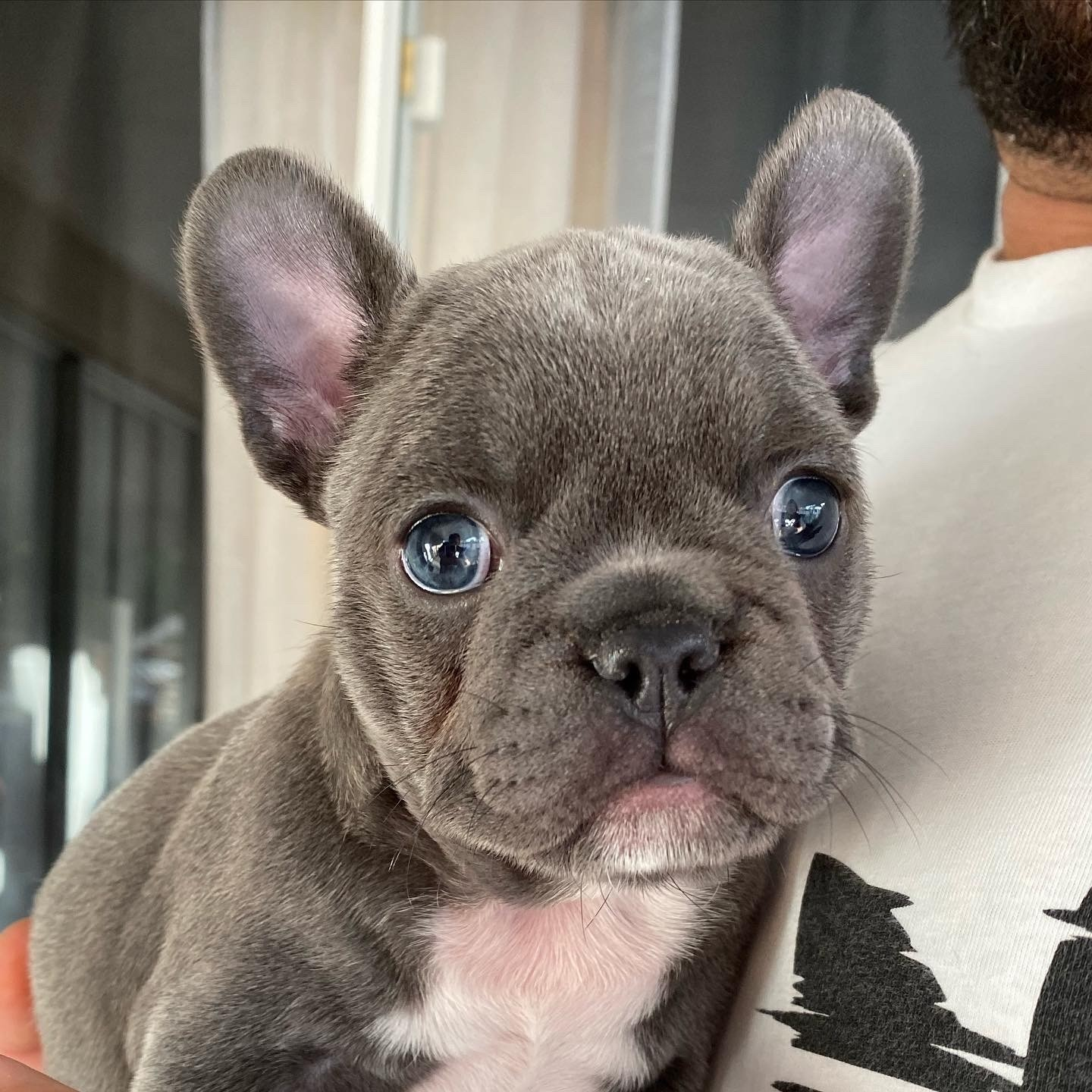 French Bulldogs Puppies for sale | Netherlands