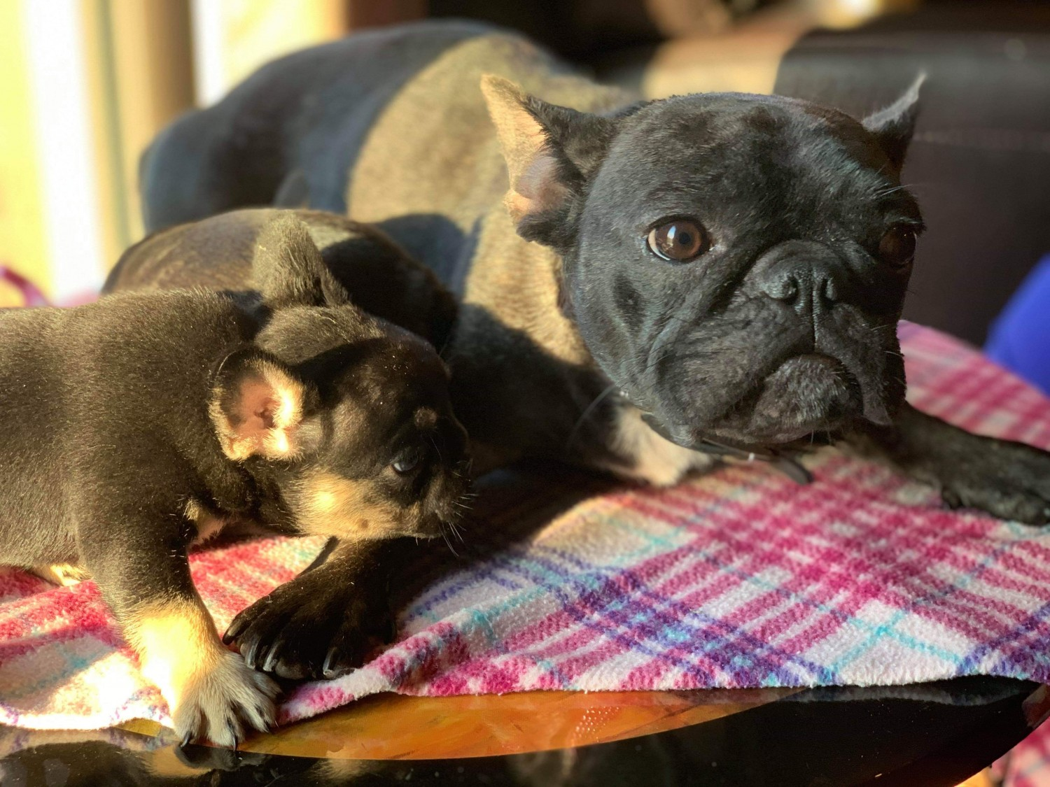 French Bulldog Puppies For Sale Texas 64 Tx 313191