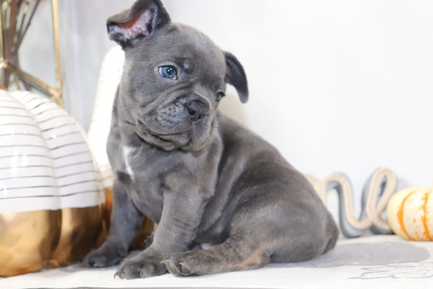 French Bulldog Puppies For Sale Brentwood Ca 314851