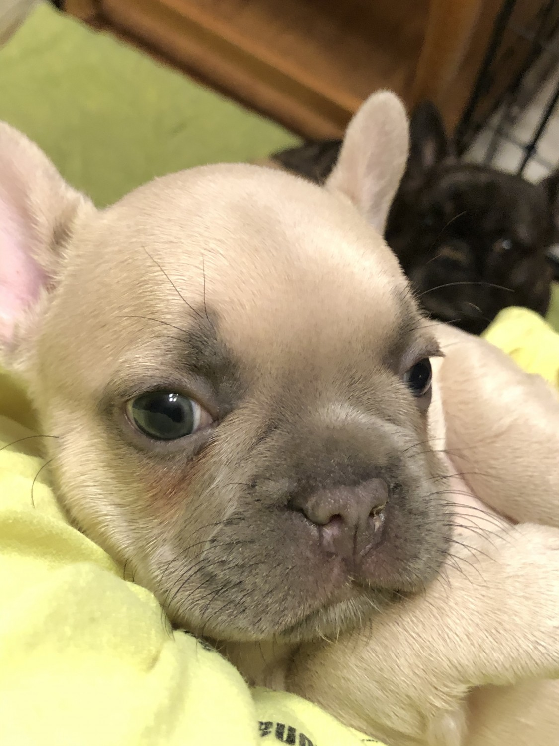 French Bulldog Puppies For Sale | Fillmore, UT #323642