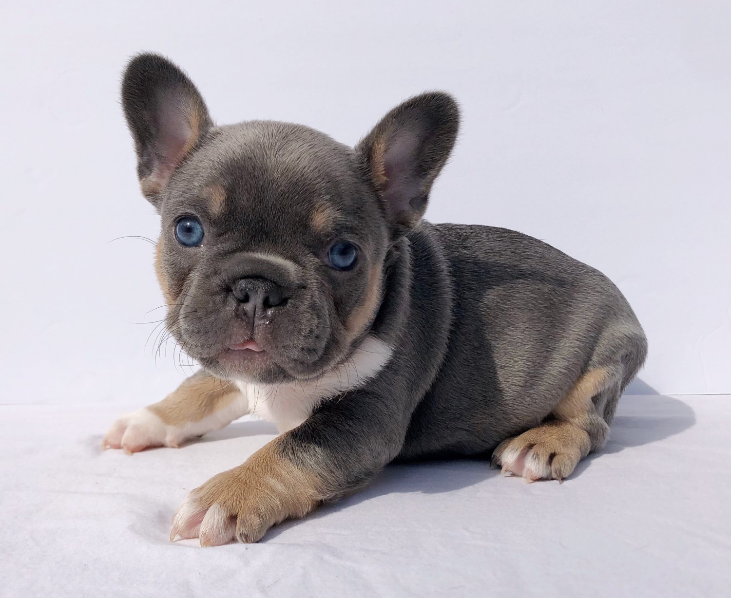 Frenchie French bulldog puppies for sale In Singapore