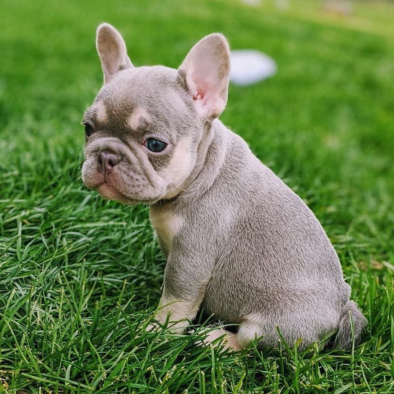 French Bulldog Puppies For Sale | Romania | Pets4Homes