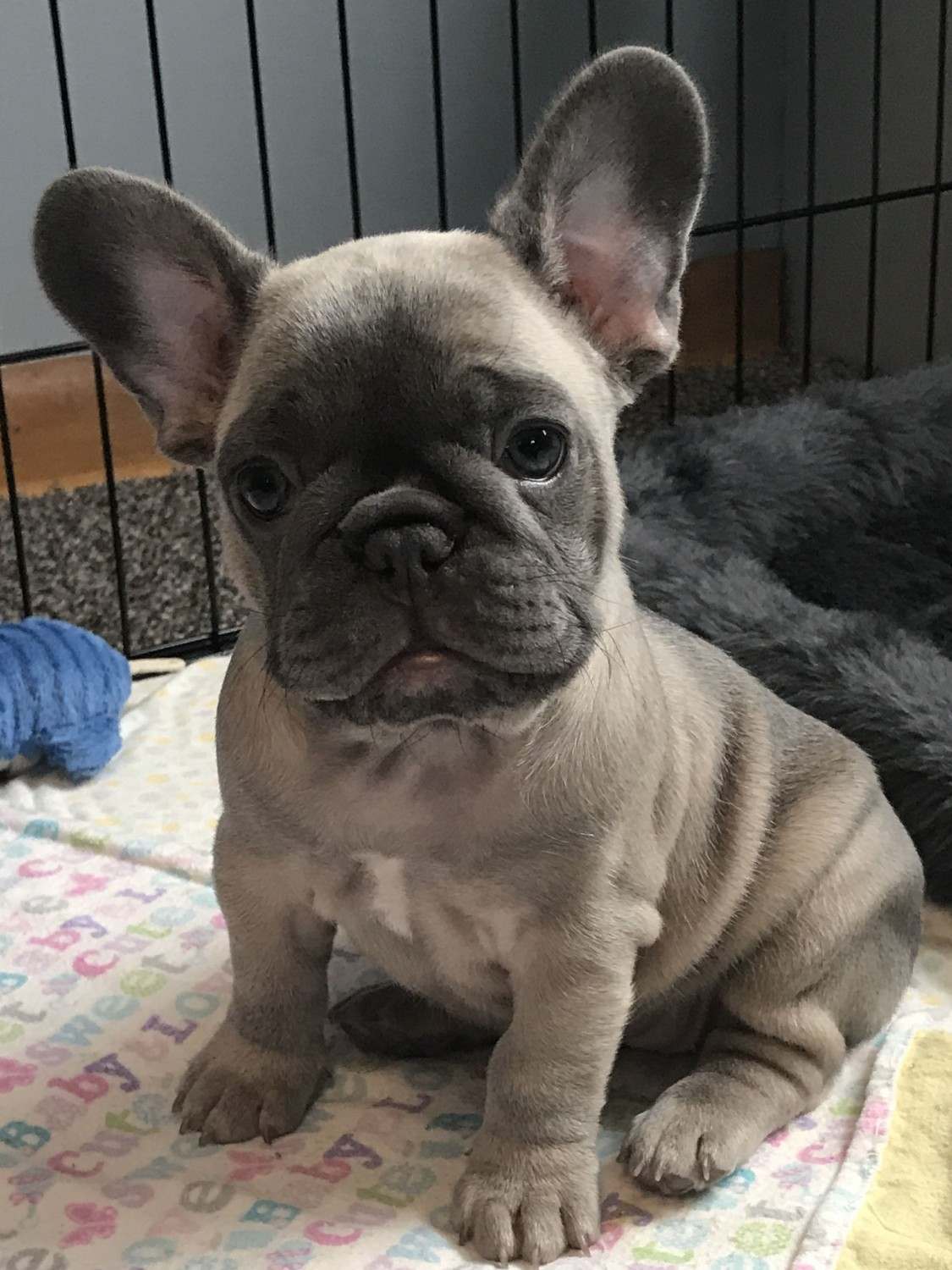 Buy French Bulldog Puppies For Sale In Wales UK
