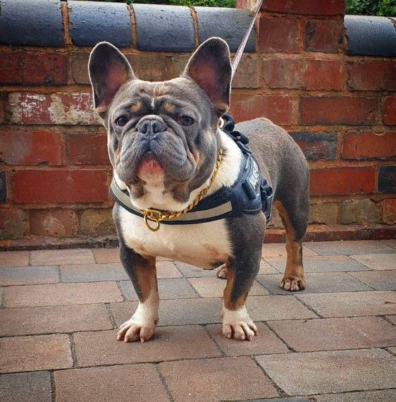 French Bulldog Puppies For Sale | New York, NY #331195