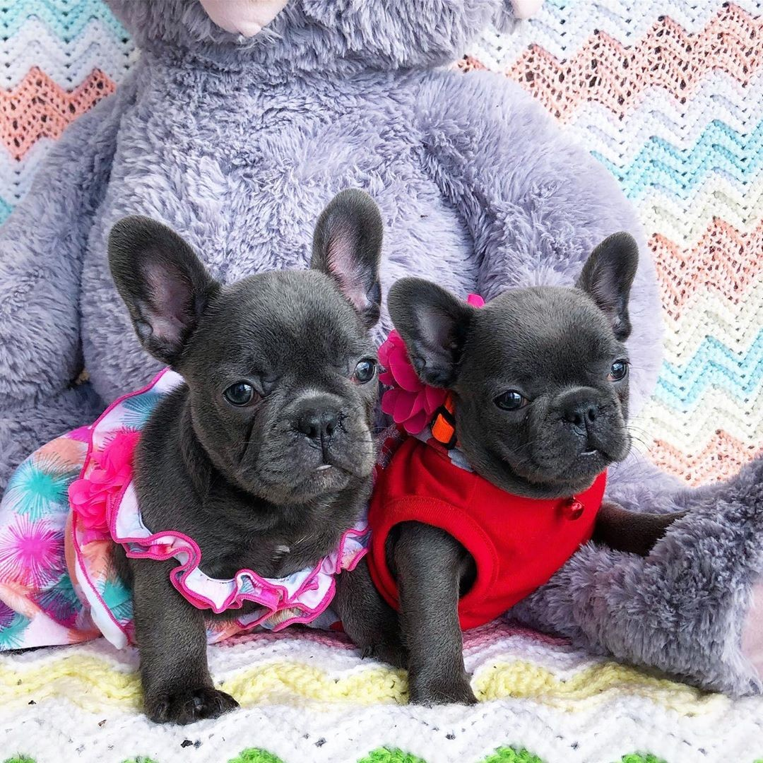 French Bulldog Puppies For Sale Texas City Tx 332103
