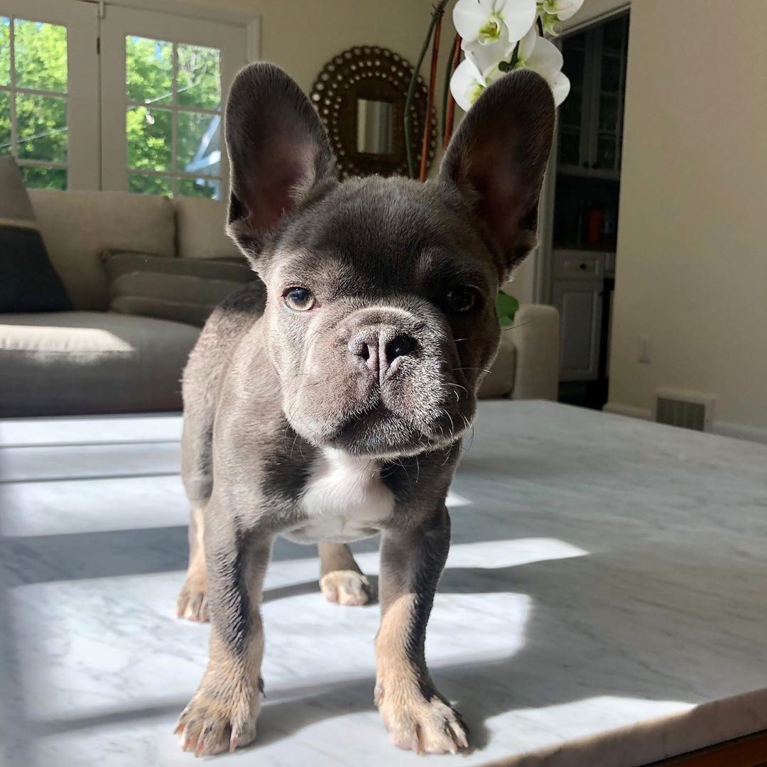 French Bulldog Puppies For Sale | Manhattan, NY #343587