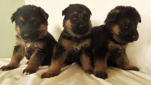 German Shepherd Puppies For Sale | Albuquerque, NM #103499