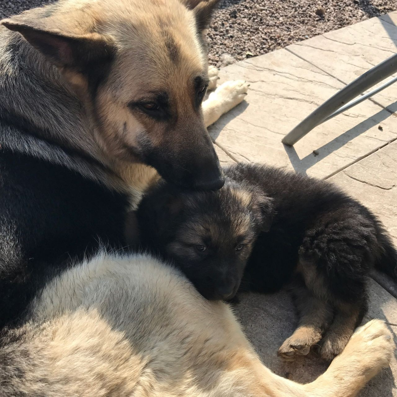 German Shepherd Puppies For Sale Chicago Il 186480