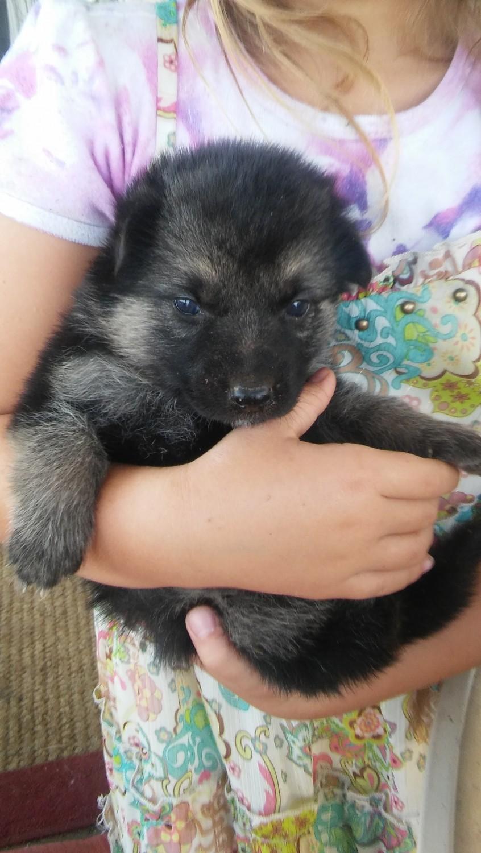 German Shepherd Puppies For Sale Liberty Hill Tx 194083