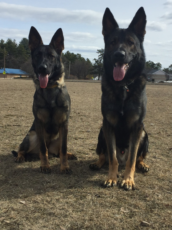 German Shepherd Puppies For Sale Nashua Nh 203764