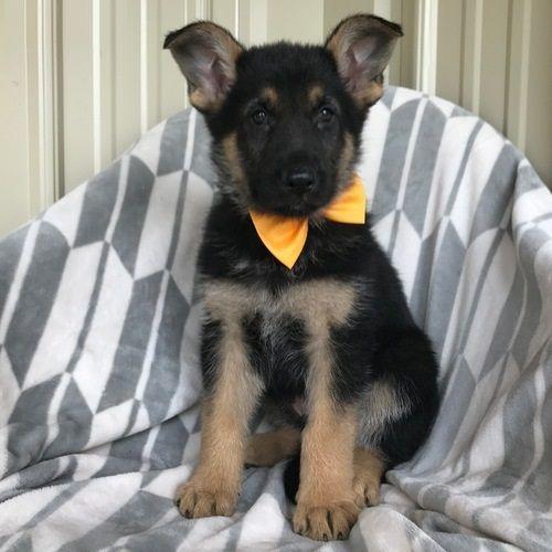 German Shepherd Puppies For Sale West Lafayette In 209344