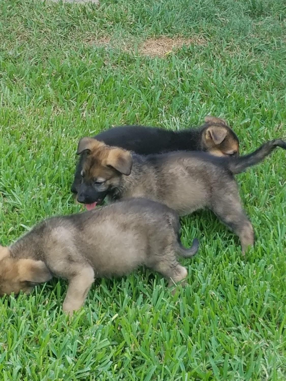 German Shepherd Puppies For Sale Houston Tx 230241