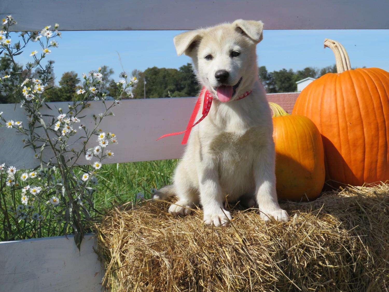 German Shepherd Puppies For Sale Scio Oh 244785