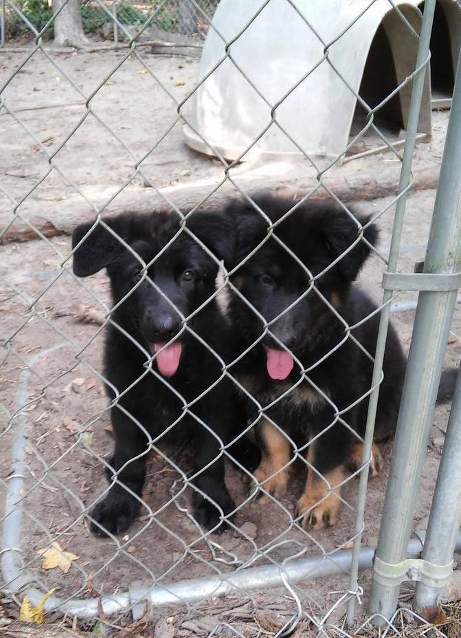 German Shepherd Puppies For Sale Jacksonville Fl 247095