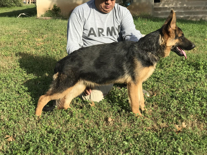 German Shepherd Puppies For Sale San Antonio Tx 255166