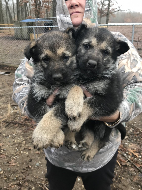 German Shepherd Puppies For Sale | Germany #258753