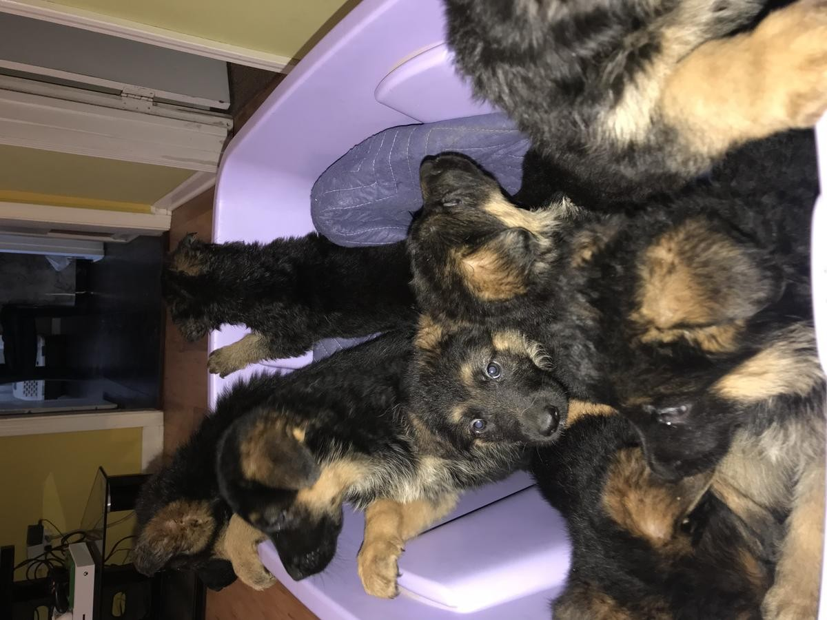 german shepherd puppies for sale in san antonio german shepherd puppies for sale san antonio tx 264094 9916