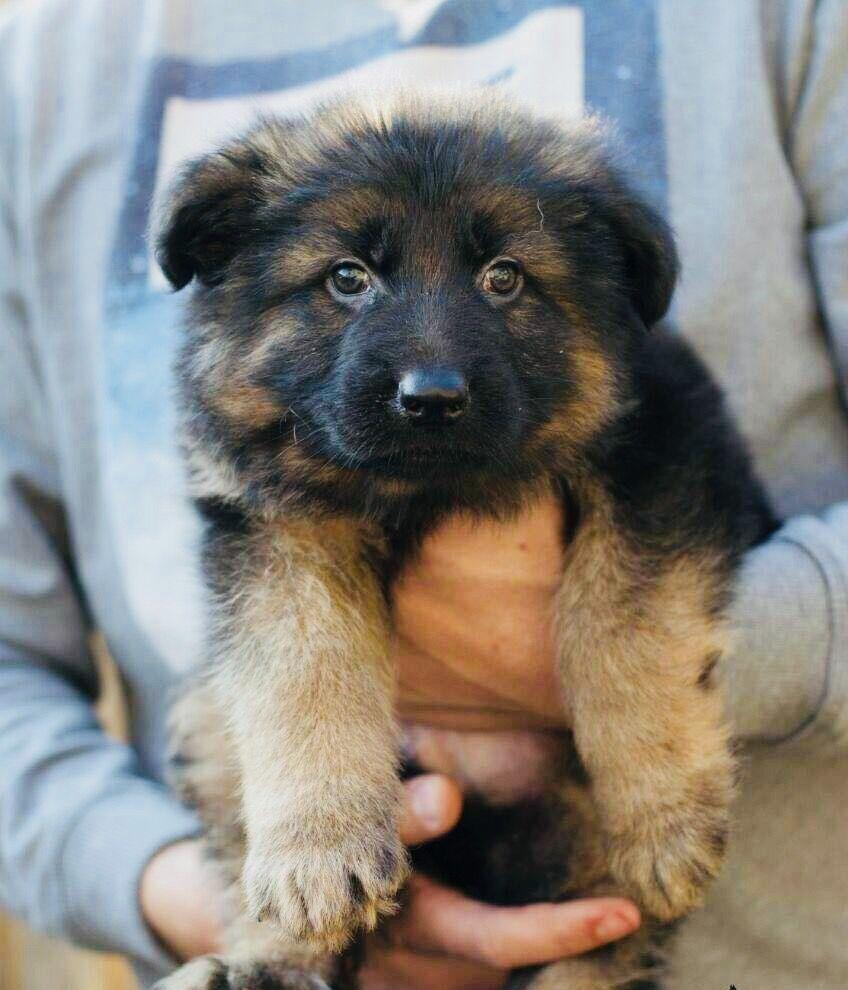 8 German Australian Shepherd puppies in Australian Capital Territory Australia