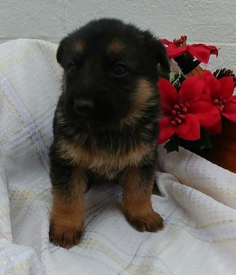 Virginia Beach German Shepherd Puppies