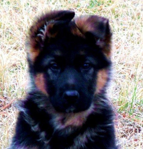German Shepherd For Sale In Oregon 42 Petzlover