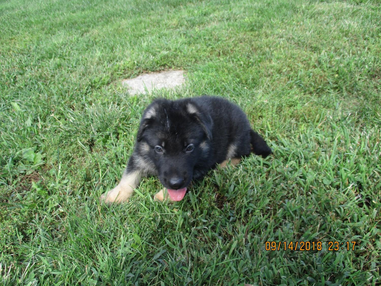 German Shepherd Puppies For Sale Pleasant Ridge Road Ky 283339