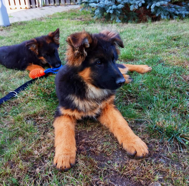 German Shepherd Puppies For Sale | Columbia, SC #287801