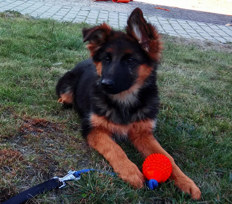 Buy German Shepherd Puppy online In Australian Capital Territory Australia
