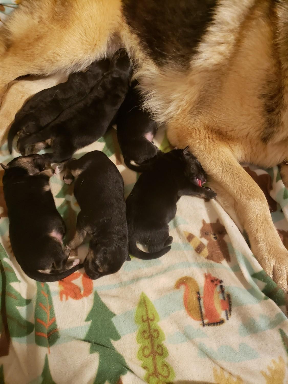 German Shepherd Puppies For Sale Lynchburg Va 290321