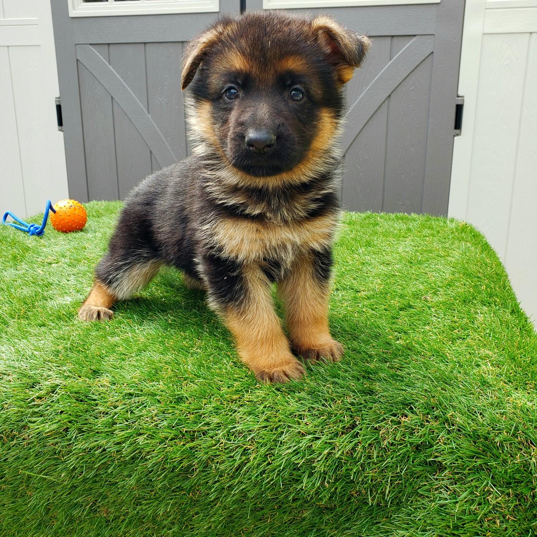 German Shepherd Puppies For Sale | Italy #291819